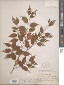 view Neocinnamomum parvifolium (Lecomte) H. Liu digital asset number 1