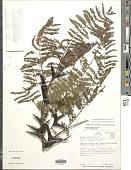 view Vachellia melanoceras (Beurl.) Seigler & Ebinger digital asset number 1
