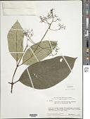 view Palicourea bostrychothyrsus (Sandwith) Delprete & J.H. Kirkbr. digital asset number 1