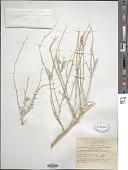 view Farsetia aegyptia subsp. aegyptia digital asset number 1