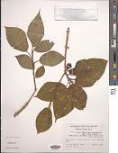 view Ficus erecta var. beecheyana (Hook. & Arn.) King digital asset number 1
