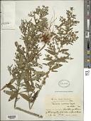 view Lepidaploa racemosa digital asset number 1