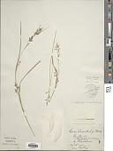 view Carex polystachya Sw. ex Wahlenb. digital asset number 1