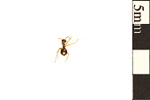 view Small Honey Ant digital asset number 1