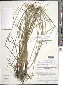 view Rhynchospora globosa (Kunth) Roem. & Schult. digital asset number 1