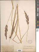 view Calamagrostis acutiflora (Schrad.) DC. digital asset number 1
