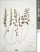 view Adiantum philippense L. digital asset number 1