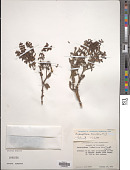 view Dendrophthora densifolia Kuijt digital asset number 1