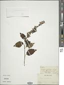 view Salvia purpurea Cav. digital asset number 1