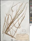 view Melica racemosa Muhl., nom. illeg. digital asset number 1