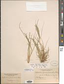 view Diplachne fusca subsp. fascicularis (Lam.) P.M. Peterson & N. Snow digital asset number 1