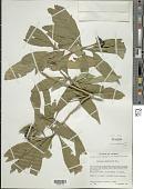 view Solanum umbellatum Mill. digital asset number 1