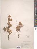 view Amelanchier pallida Greene digital asset number 1