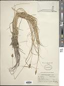 view Carex arcta Boott digital asset number 1
