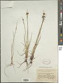view Sisyrinchium angustifolium Mill. digital asset number 1