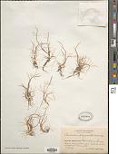 view Puccinellia phryganodes (Trin.) Scribn. & Merr. digital asset number 1