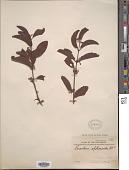 view Loranthus sphenoideus Blume digital asset number 1