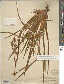 view Orthrosanthus monadelphus Ravenna digital asset number 1