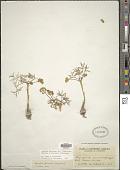 view Lomatium farinosum var. hambleniae (Mathias & Constance) Schlessman digital asset number 1