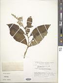 view Monnina phytolaccifolia Kunth digital asset number 1