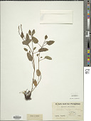 view Eritrichium brevipes Maxim. digital asset number 1