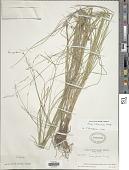 view Carex straminea Willd ex Schkuhr digital asset number 1