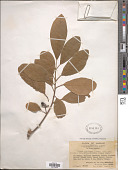 view Litsea glutinosa (Lour.) C.B. Rob. digital asset number 1