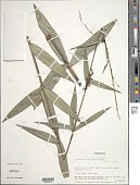 view Lagenocarpus stellatus (Boeckeler) Kuntze digital asset number 1