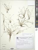 view Eleocharis hatschbachii R. Trevis. digital asset number 1
