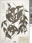 view Manettia cordifolia Mart. digital asset number 1