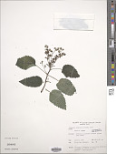 view Laportea ruderalis (G. Forst.) W. L. Chew digital asset number 1