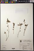 view Euphorbia hirta L. digital asset number 1