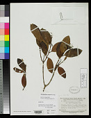 view Retiniphyllum maguirei Standl. digital asset number 1