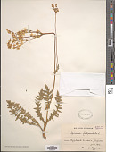 view Spiraea filipendula L. digital asset number 1