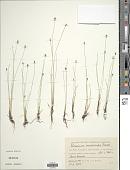 view Eleocharis quinqueflora (Hartmann) O. Schwarz digital asset number 1