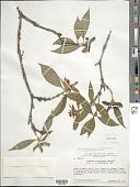 view Psychotria potaroensis (Sandwith) Steyerm. digital asset number 1