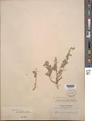 view Chenopodium petiolare H.B.K. digital asset number 1