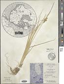 view Carex oederi Retz. digital asset number 1