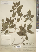 view Rauvolfia tetraphylla L. digital asset number 1