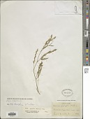 view Zornia latifolia Sm. digital asset number 1