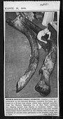 view Balaenoptera musculus (Linnaeus, 1758) digital asset number 1