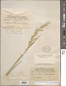 view Trisetopsis imberbis (Nees) Röser et al. digital asset number 1