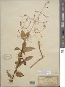 view Schiedea diffusa subsp. macraei A. Gray digital asset number 1