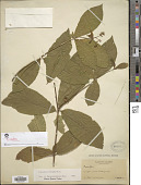 view Rauvolfia viridis Willd. ex Roem. & Schult. digital asset number 1