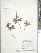 view Kadua haupuensis Lorence & W.L. Wagner digital asset number 1