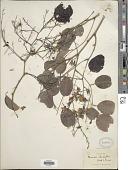 view Pterocarpus rotundifolius (Sonder) Druce digital asset number 1