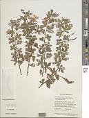 view Chamaecrista desvauxii var. mollissima (Benth.) H.S. Irwin & Barneby digital asset number 1