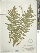 view Dryopteris filix-mas (L.) Schott digital asset number 1