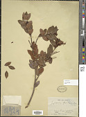 view Gaylussacia brasiliensis (C.K. Spreng.) Meisn. digital asset number 1
