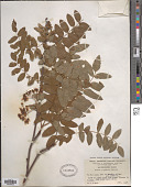 view Sorbus tianshanica Rupr. digital asset number 1